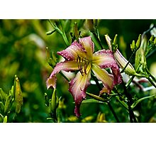 "Daylily ""North Wind Dancer"" Photographic Print"