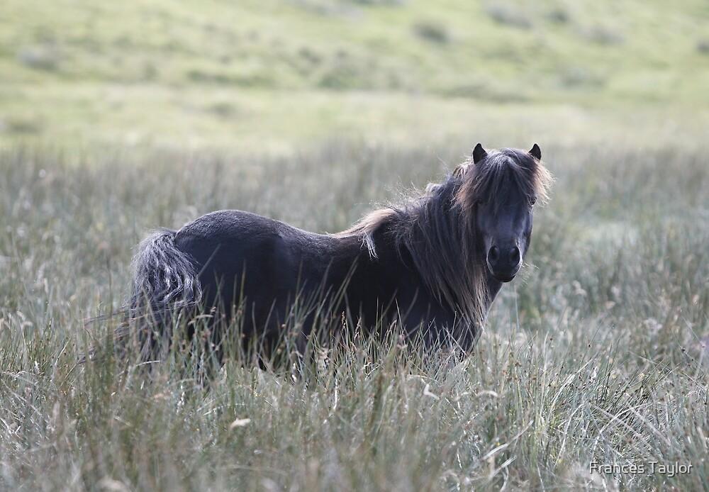 Shetland Pony by Frances Taylor