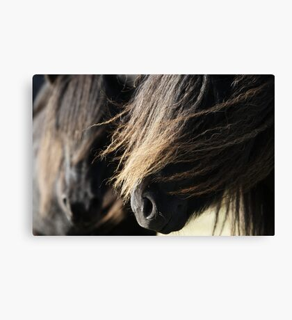 Shetland Ponies Canvas Print