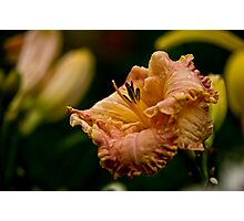 "Daylily ""Inherited Wealth"" Photographic Print"