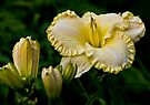"Daylily ""First Knight"" by Michael Cummings"
