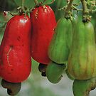 FRUIT OF THE CASHEW  NUT- Anacardium accidentale by Magriet Meintjes