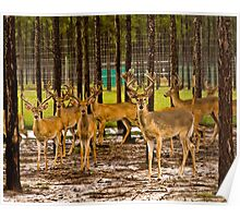 09-110 ~ young deer stand ready for flight Poster
