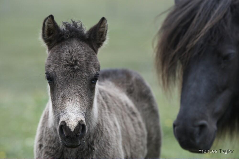 Shetland Ponies by Frances Taylor