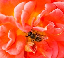 Bee on a pink rose by Mark Bangert