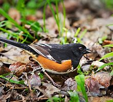 Eastern Towhee by Christina Rollo