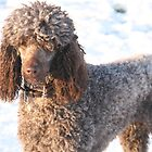 Brown Poodle in Snow by Astroid