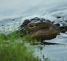 BABY ALLIGATOR by H & B Wildlife  Nature Photography