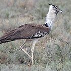 Kori Bustard - Serengeti National Park, Tanzania by Adrian Paul