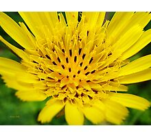 Yellow Salsify Flower Photographic Print