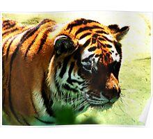 Wading Tiger Poster