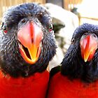 Rainbow Lorikeets ~ All beak & In your Face! by Kimberly P-Chadwick