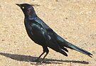 Brewer's Blackbird ~ Male by Kimberly Chadwick