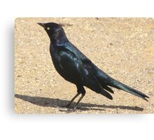 Brewer's Blackbird ~ Male Canvas Print