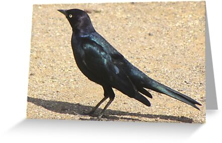 Brewer's Blackbird ~ Male by Kimberly Chadwick