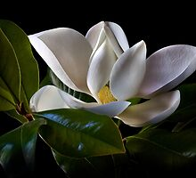Magnolia by Endre