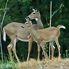 White Tail Deer by NJorgensen