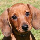 Dachshund Puppy by Jenny Brice