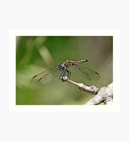 Pachydiplax longipennis ~ Blue Dasher~Female Art Print