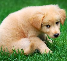 Fuzzy Golden Retriever Puppy by Christina Rollo