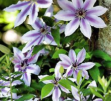 Clematis (Nelly Moser) by T.J. Martin