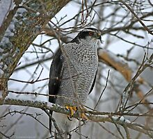 Northern Goshawk Stare by Deborah  Benoit