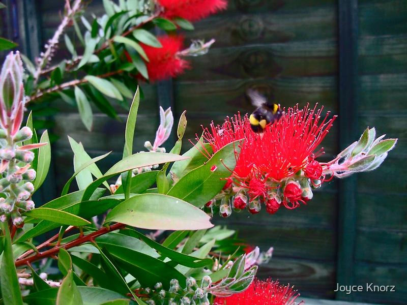 bottle brush plant bursting with buds .. by Joyce Knorz