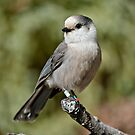 Gray Jays - The Forest Thief by Michael Cummings