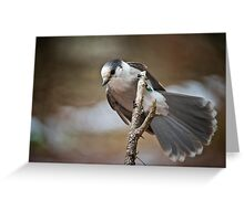 Gray Jay Greeting Card