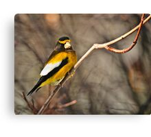 Male Evening Grosbeak Canvas Print