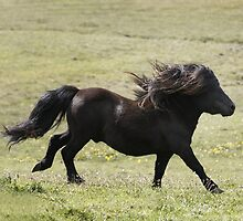 Shetland Stallion by Frances Taylor