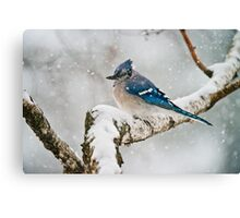 Blue Jay In Spring 3 Canvas Print
