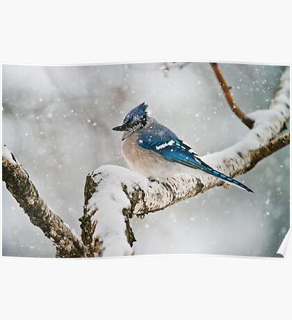 Blue Jay In Spring 3 Poster