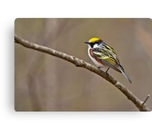 Chestnut Sided Warbler Canvas Print
