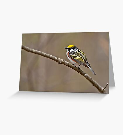 Chestnut Sided Warbler Greeting Card