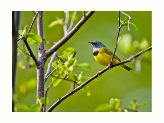 Mourning Warbler by Michael Cummings