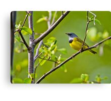 Mourning Warbler Canvas Print