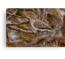 Mourning Dove - Ottawa Ontario Canvas Print
