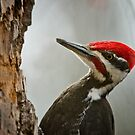 Pileated Woodpecker by Michael Cummings