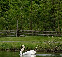 Mute Swan - Lunenberg, Ontario by Michael Cummings
