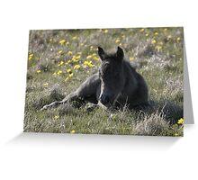Shetland Pony Foal Greeting Card