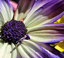 Pericallis Senetti by Colin Metcalf