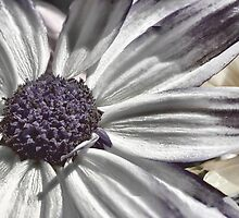 Desaturated Pericallis Senetti by Colin Metcalf