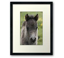 Shetland Foal Framed Print