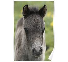 Shetland Foal Poster