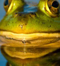 Pond Frog Sticker