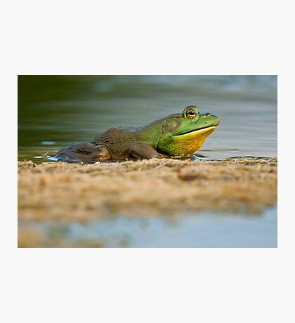 Pig Frog Relaxing Photographic Print