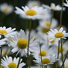 Daisy by Brian Stark