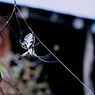 Garden Spider by Charles Buchanan