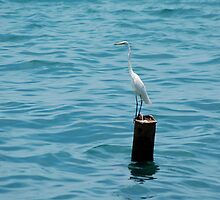 Eastern Great White Egret Standing on a Post in the Ocean by HotHibiscus